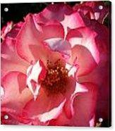 Fancy Flaminco Rose Acrylic Print