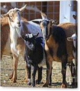 Fancy Goats Acrylic Print