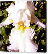 Fancy Lady White Iris Acrylic Print