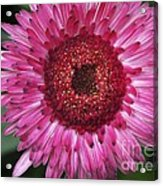 Fancy Pink Daisy Acrylic Print