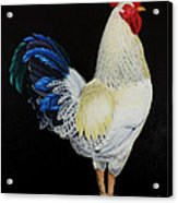 Fancy Tail  Rooster Acrylic Print
