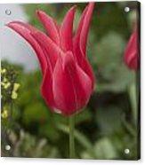 Spiky Tulip Acrylic Print