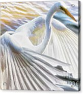 Fancy Wing Dancer  Acrylic Print