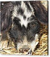 Farm Pig 7d27361 Acrylic Print