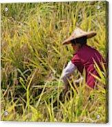 Farmer Harvesting Rice On The Terrace Acrylic Print