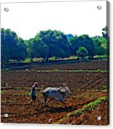 Farmer With Cow Acrylic Print