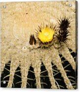 Fascinating Cactus Bloom - Soft And Fragile Among The Thorns Acrylic Print