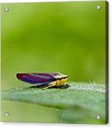 Fashion Bug - Leafhopper Acrylic Print by  Andrea Lazar