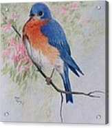 Fat And Fluffy Bluebird Acrylic Print