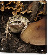 Fat Frog Acrylic Print by Jean Noren