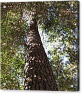 Father Pine Acrylic Print