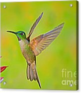 Fawn-breasted Brilliant Hummingbird Acrylic Print