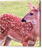 Fawn In The Waning Summer Acrylic Print
