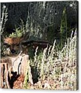 Fawn Front Yard Divide Co Acrylic Print