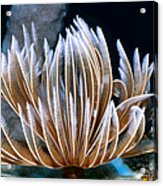 Feather Duster Worms 2 Acrylic Print