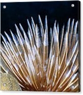 Feather Duster Worms 4 Acrylic Print