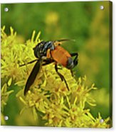 Feather-legged Fly On Goldenrod - Trichopoda Acrylic Print