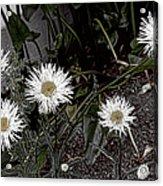 Feathered Daisy  Acrylic Print