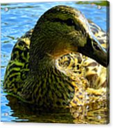 Feathered Female Acrylic Print