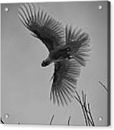 Feathered Flight  Acrylic Print