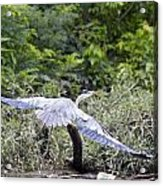Feathering Flight Acrylic Print