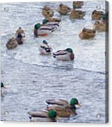 February  And Cold Ducks Acrylic Print by Rosemarie E Seppala