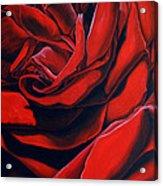 February Rose Acrylic Print