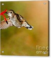 Feeding Anna's Hummingbird Acrylic Print