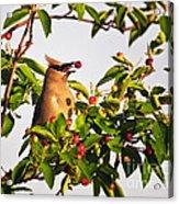 Feeding Cedar Waxwing Acrylic Print