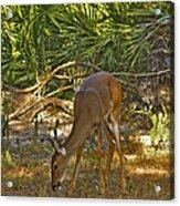 Feeding Doe. Polk County Fl. Acrylic Print