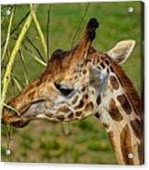 Feeding Giraffe Acrylic Print
