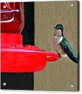 Feeding Hummingbird Acrylic Print