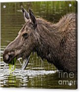 Feeding Moose Acrylic Print