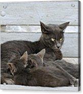 Feeding The Kittens Acrylic Print