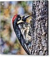 Female Acorn Woodpecker Portrait Acrylic Print