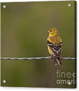 Female American Goldfinch Acrylic Print