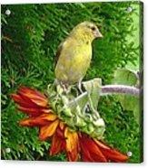Female American Goldfinch Acrylic Print