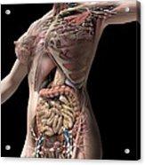 Female Anatomy, Artwork Acrylic Print