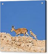 female and young Nubian Ibex Acrylic Print