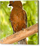 Female Andean Cock-of-the-rock Acrylic Print
