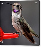 Female Anna's Hummingbird On Perch Posing For Her Supper Acrylic Print