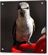 Female Anna Hummingbird Acrylic Print