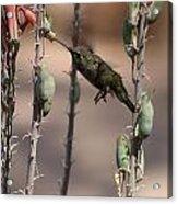 Female Anna's Hummingbird Acrylic Print
