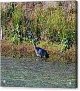 Female Blue Heron  Acrylic Print
