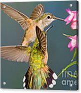 Female Broad-tailed Hummingbird Acrylic Print