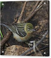 Female Cape May Warbler Acrylic Print
