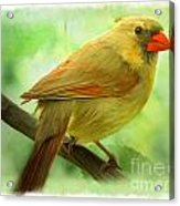 Female Cardinal In Elm Tree - Digital Paint Acrylic Print