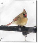 Female Cardinal In Snow Acrylic Print