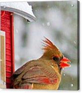 Female Cardinal In The Snow Acrylic Print