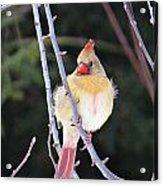Female Cardinal In Tree Acrylic Print